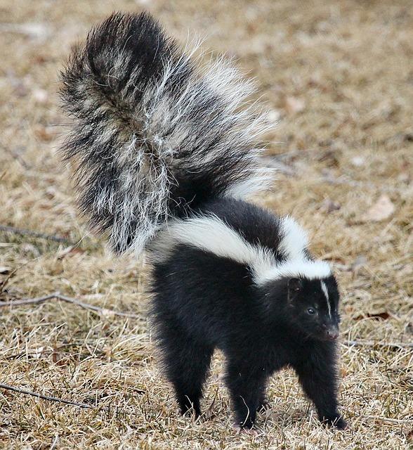 skunk-1239764_640